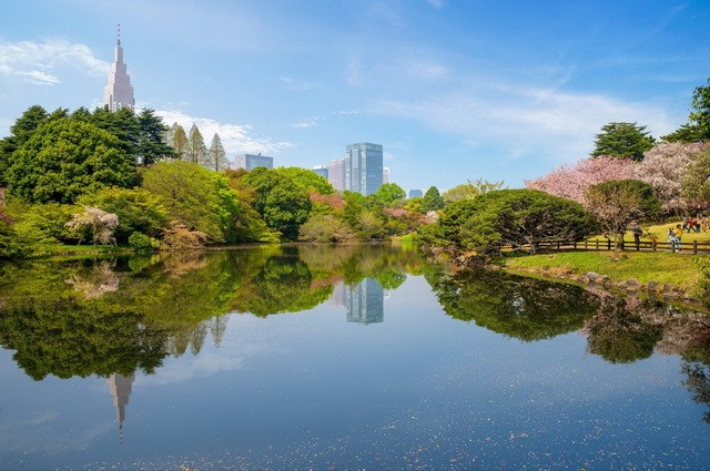 Landscape of Shinjuku Gyoen with cherry blossom